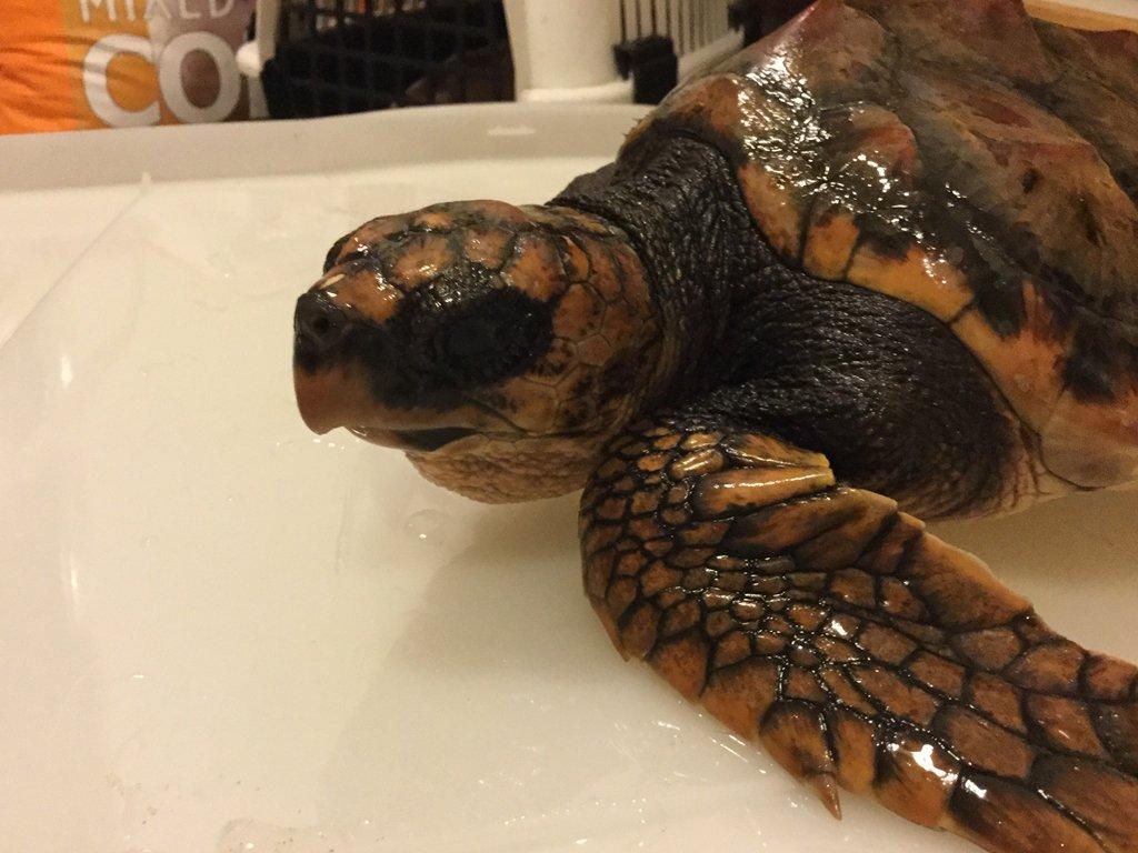 Loggerhead Turtle at Exploris Aquarium