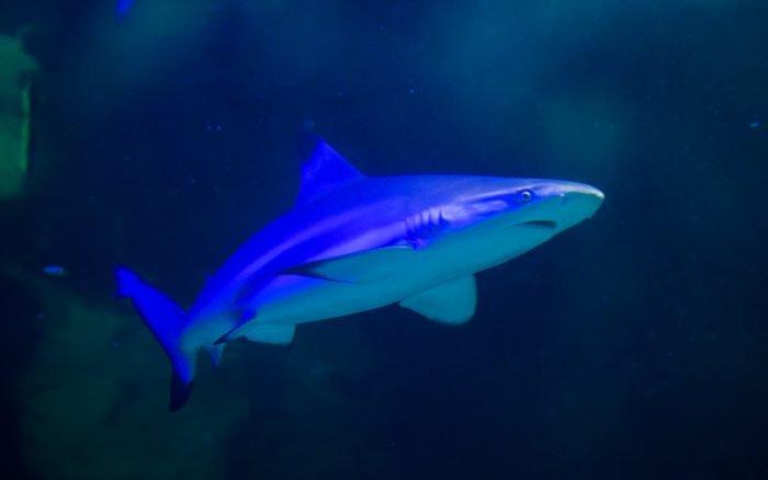 Close Up - Black Tip Reef Shark in Exploris Ocean Tank