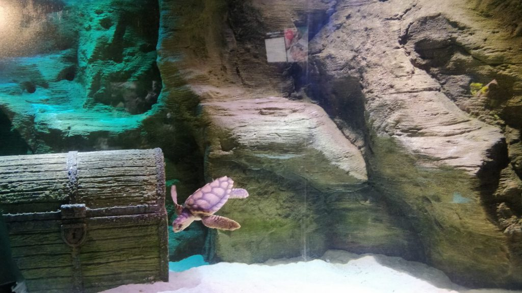 JC loggerhead turtle in new tank