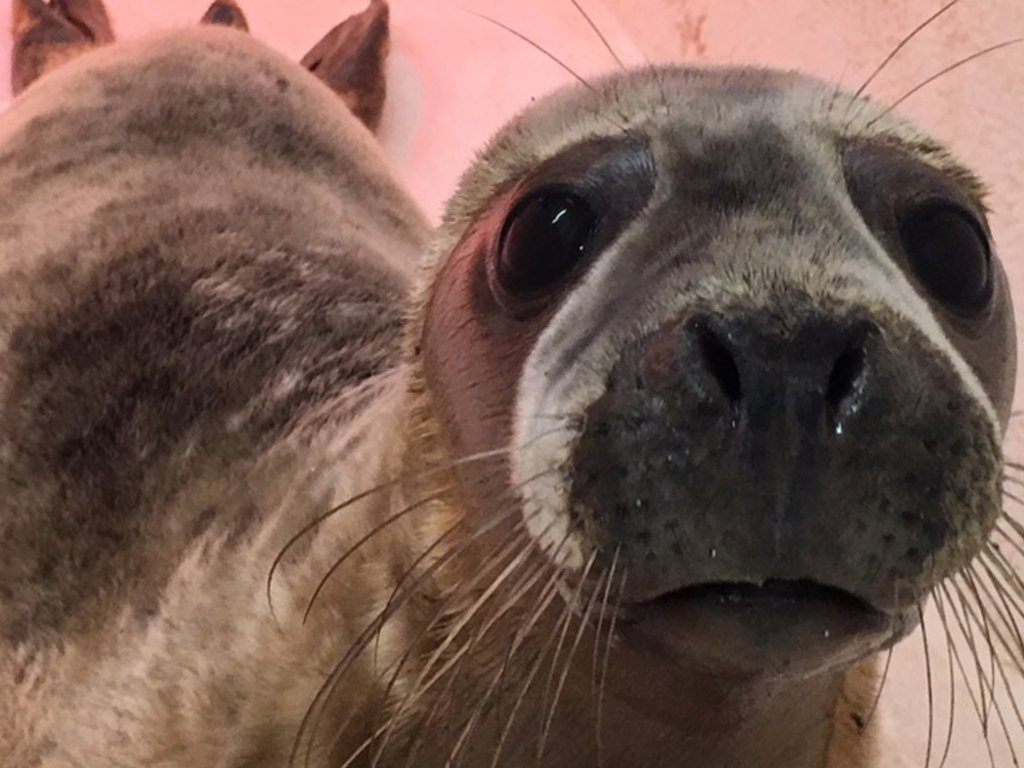 Steve the seal was rescued in 2018