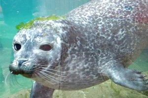Seal Release – Ariel and Merida
