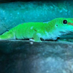 Gecko - Danny