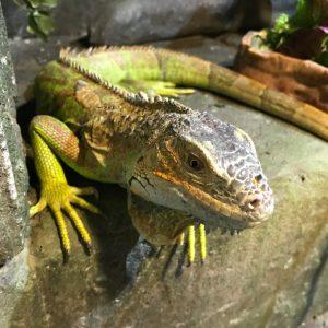 Green Iguana - David