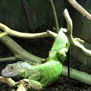 Green Iguana - Diane
