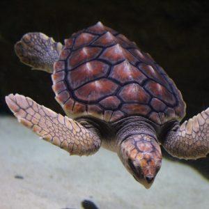Loggerhead Turtle - J.C.