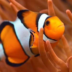 ocellaris-clownfish