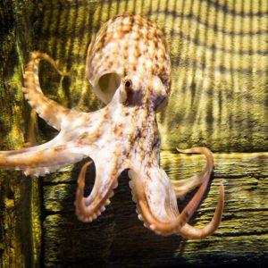 Octopus - Otto