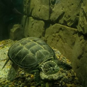 Snapper Turtle Thor