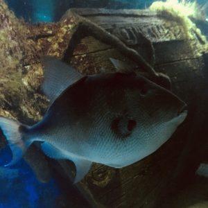 Trigger Fish - Clint